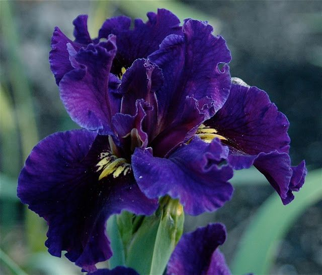 1000+ Images About Barbs Daylilies And Louisiana Iris On