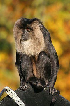 Il sileno o scimmia dalla barba bianca o vanderú o uanderú (Macaca silenus (Linnaeus, 1758)) è un primate appartenente alla famiglia dei Cercopithecidae. | Source: Lion-tailed Macaque.jpg