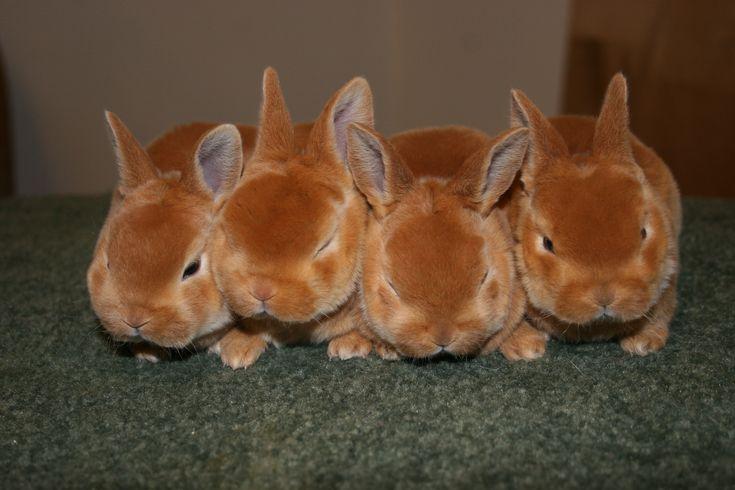 red mini rex rabbits for sale - Google Search