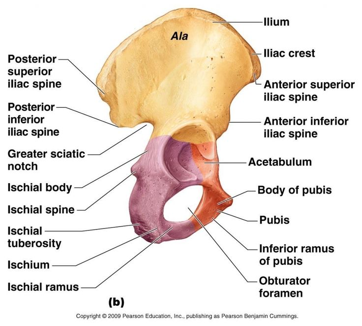 Pelvic Bone Anatomy 1000 Ideas About Pubis Bone On Pinterest Ankle Anatomy Medical