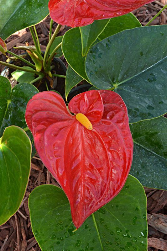 Anthurium is a great indoor flower. In the summer, move it outdoors to a shady, covered patio to make your backyard feel tropical.