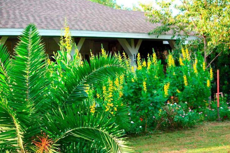 Flores amarelas por todos os lados no jardim de casa. Sentiu a boa energia e a beleza? Agora, imagine flores amarelas que são um repelente natural de combate ao mosquito causador da dengue. Prazer, eu sou a Crotalária Juncea, uma leguminosa, tipicamente plantada após a retirada das produções em lavouras, um tipo de adubação verde. Vinda da lavoura, a Crotalária vem ganhando cada vez mais espaço nos jardins de casas e empresas. Isso porque descobriu-se nela uma poderosa arma biológica para o…