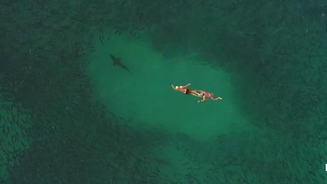 Swimmers tell of encounter among about 8 sharks preying on school of bait fish at Bondi | News Local