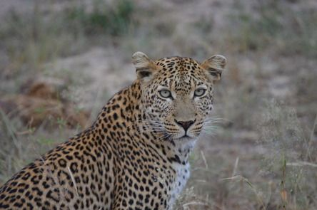 """""""After years of wonderful trips to the Kruger, this was my very first up-close leopard spotting, made even more special because she was with her adorable cub. It was absolutely exhilarating when she looked straight into my lens""""  Join the #MyNatureMoment movement here: bit.ly/24yVWYL"""