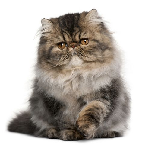 ♥ Cozy Kittens: Doll Face Persian Kittens & Doll Face Himalayan Kittens at their finest!
