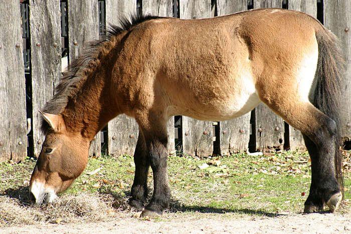 IL CAVALLO DI PRZEWALSKIJ. Dei tre cavalli primitivi dai quali derivano le odierne razze equine, il Cavallo Selvatico dell'Asia originario della Mongolia occidentale è il solo sopravvissuto nella sua forma originaria, rappresenta l'anello di congiunzione fra i primi tipi di cavalli e le razze attuali ed è... Per continuare a conoscere la razza: https://itunes.apple.com/it/app/vademecum-del-cavallo-secondo/id765697733?mt=8&uo=4 Grazie.