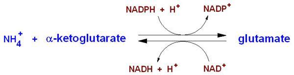 Anxiety, Ammonia & the NMDA receptor | Gestalt Reality