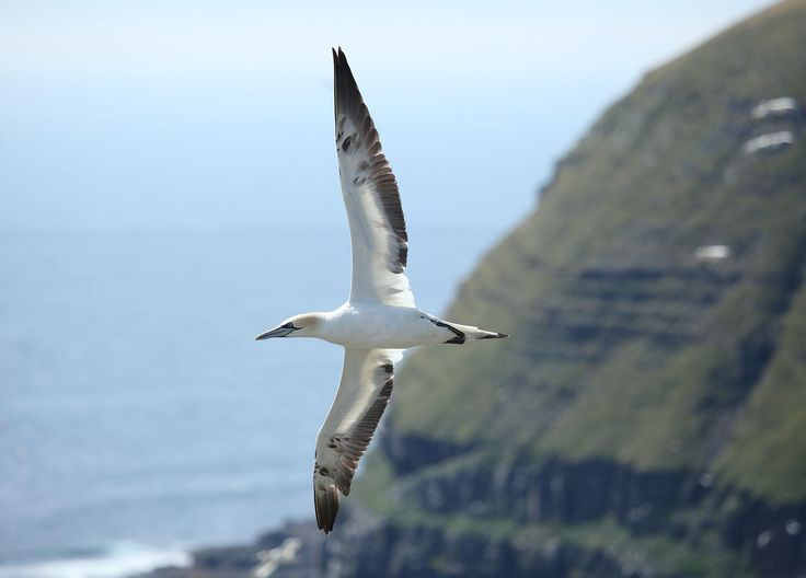The Northern Gannet Morus bassanus is a true oceanic dive-bomber.  Photo: Liam Quinn/Wikimedia Commons (CC BY-SA 2.0)