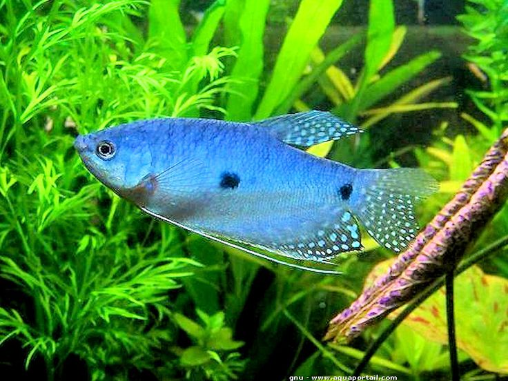 73 best images about poissons d 39 aquarium on pinterest for Poisson koi aquarium