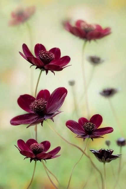 Such a lovely photo of ruby-colored cosmos.
