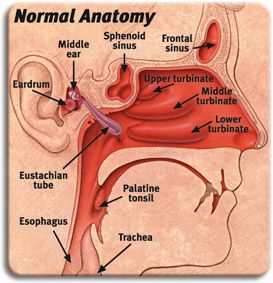 Anatomy Of Ear Nose Throat