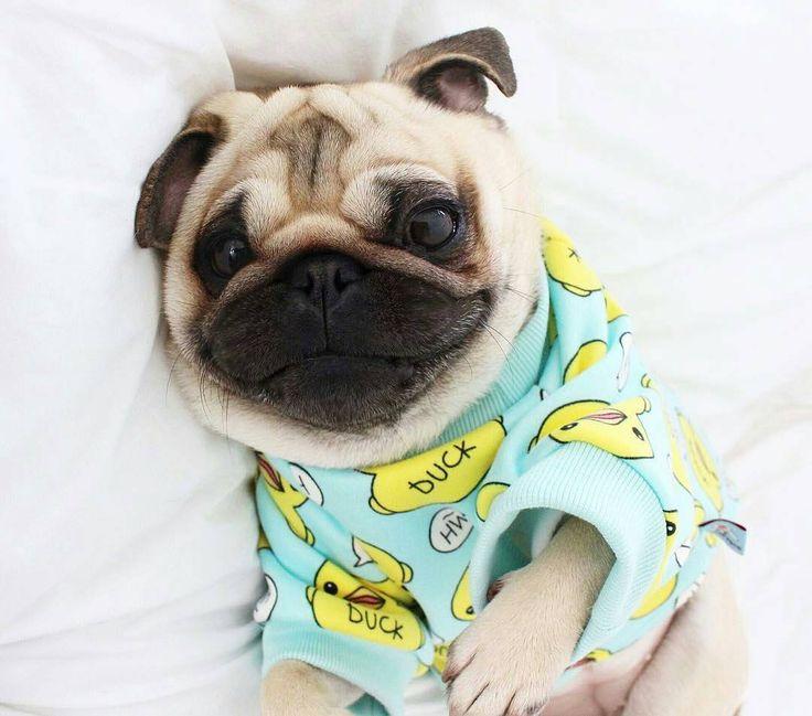 Reposted from @pugloulou  #pugs #pugsofinstagram #pugstagram #pugsproud #whitepug  TAG A FRIEND  by pugsproud