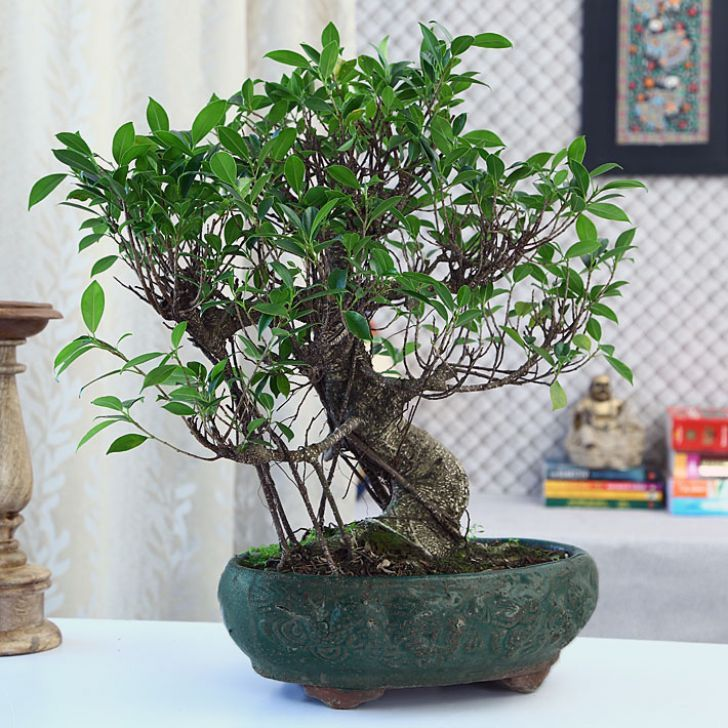 Decorate your home with natural plants. Get up to 35% discount on the plants like money tree, lucky bamboo three layer ceramic pot, white pothos, grass dolls, hybrid plants and many more. Shop now!