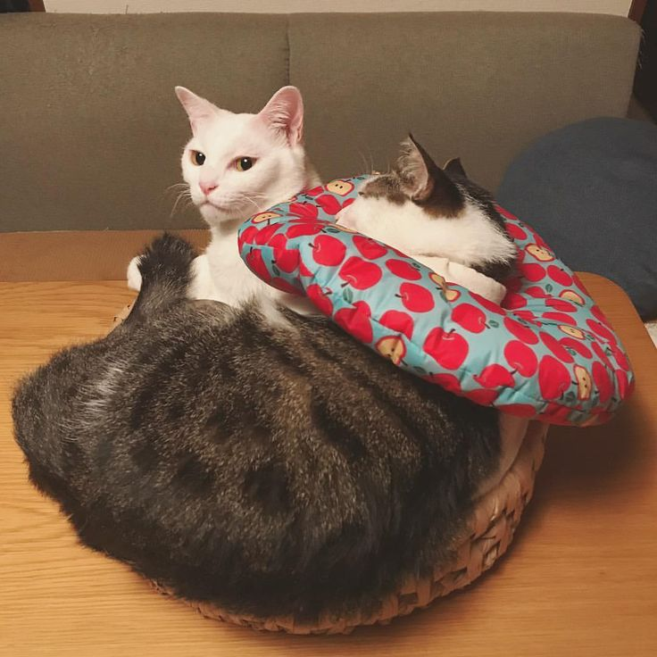 いいね!8,347件、コメント28件 ― @naomiunoのInstagramアカウント: 「1人用の#ちぐらベット にw ぎゅーぎゅー❤︎❤︎ おこ『ハッチャン、ほんまにボクのこと大好きよなぁ。しかし重い…。』 #八おこめ #ねこ部 #cat #ねこ #福ちぐら #猫ベット #仲良し寝 ☆☆」