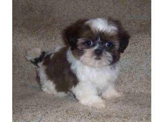shih tzu toys 25 best toy shih tzu ideas on pinterest 7971