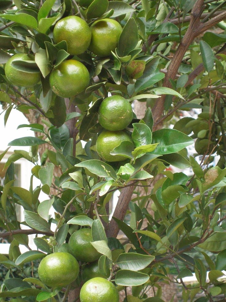 Lime Tree Images