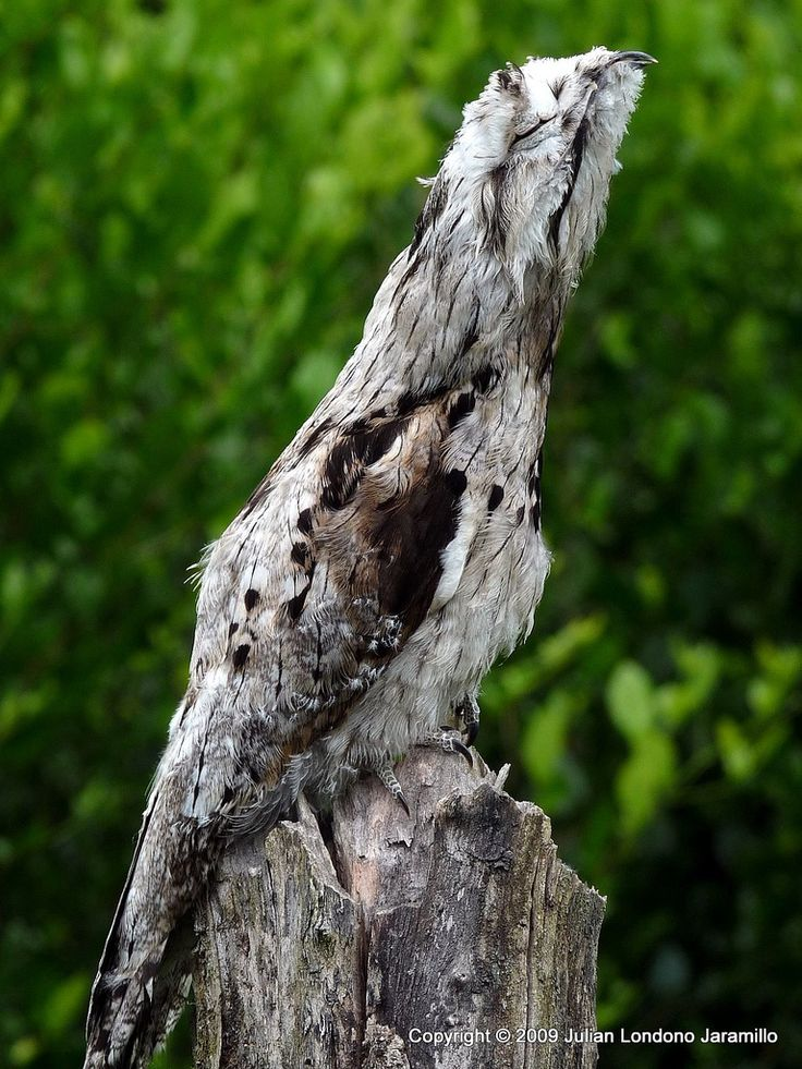 Common Potoo (Camouflage Birds, Exotic Birds)