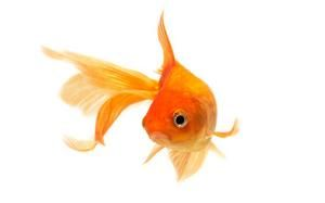 Goldfish do not have three second memories in list of animal myths exposed - Telegraph