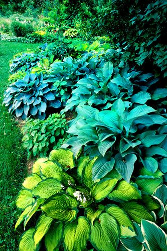 Blue and Green Hostas in the Shade of Trees