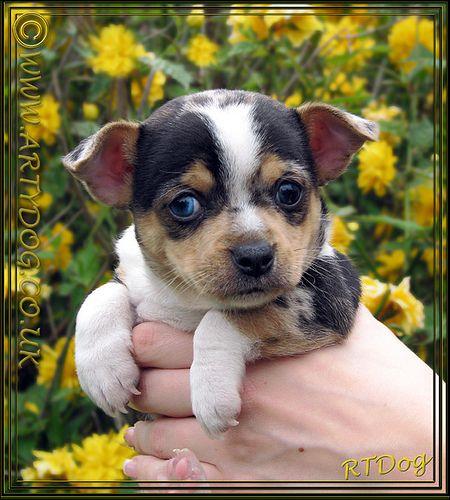 Jackhuahua Puppy Portrait  Goya - Little Miss Yellow Peril   Best Pet Insurance! http://www.offers.couponrainbow.com/embrace-pet-insurance/