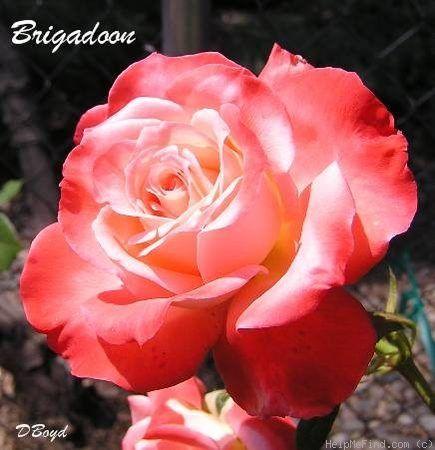 Brigadoon hybrid tea rose - my favorite