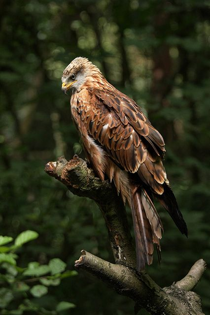 ♀Animal kingdom wildlife photography bird - A red kite resting on a perch in the woods
