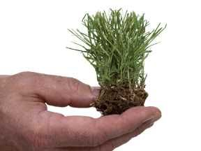 Grass plugs are a great way to get great summer turf or fill in patchy areas.  Quick description of different grass plugs to choose from and easy how to plant.