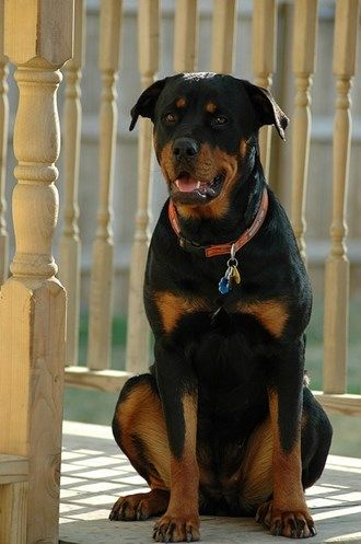 302 best Rottweilers images on Pinterest Rottweilers Animals