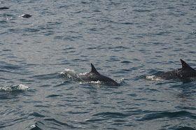 Meravigliosi incontri #delfini #dolphins #sailing #vela