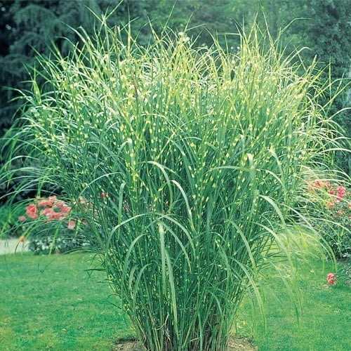 Zebra grass beautiful gardens pinterest for Ornamental grasses that grow tall