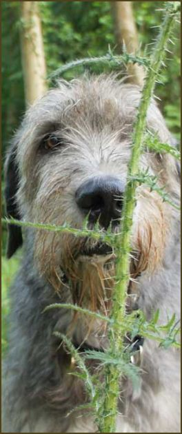 Irish Wolfhound Rescue Trust