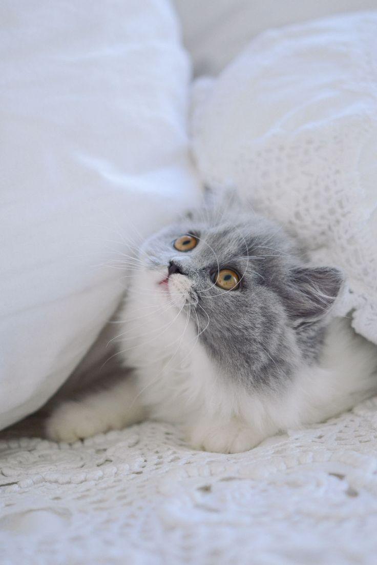 les 20 meilleures id es de la cat gorie chaton gris sur pinterest chatons chatons mignons et. Black Bedroom Furniture Sets. Home Design Ideas