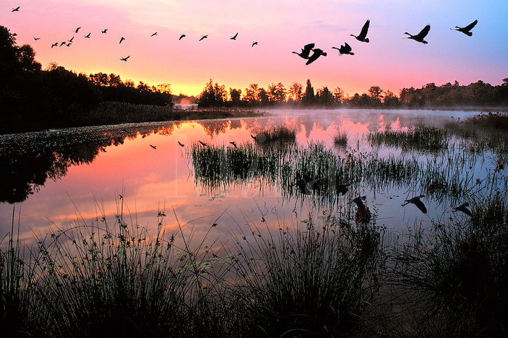 Canada Goose Migration at Sunrise on Presidential Lakes, The Pine Barrens, NJ. New Jersey USA lake.