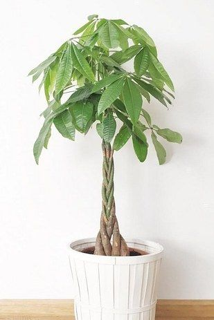 Money Bonsai or Guiana Chestnut (Pachira aquatica) | 15 Air-Purifying Plants That Will Turn Your Home Into A Lush Forest