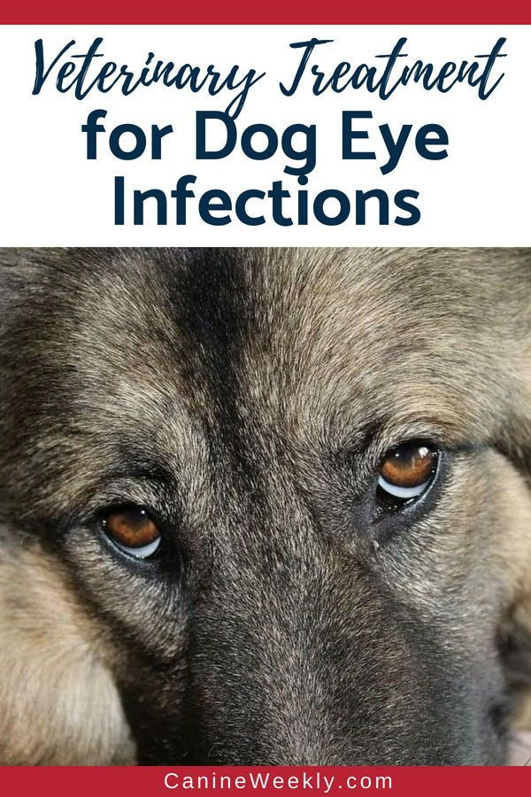 Dog Eye Infection Home Remedies Symptoms And Natural Treatments