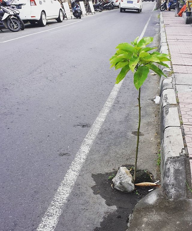 You know you're near the equator when trees grow through the street.  #fertile #ubud #bali #indonesia #balinese #travel #ontheroad #travelbali #balitravel #backpacker #backpacking #vagabond #trip #travelgram #traveling #travelling #visitindonesia #wanderlust by (misterkiasu) balinese #trip #travelgram #fertile #backpacker #travelbali #wanderlust #ontheroad #travel #ubud #bali #balitravel #backpacking #indonesia #travelling #traveling #vagabond #visitindonesia #meetingprofs #eventprofs…