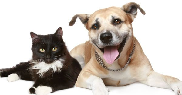 What is Distemper in #Cats? Learn all about feline distemper, the signs,  treatment, diagnosis, prognosis and prevention!
