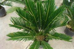 Palmier fougère, Sagoutier, Cycas du japon, Sagou du japon