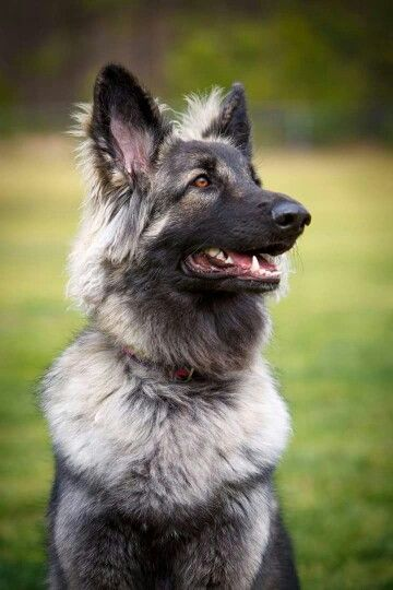 My Luna : SHILOH SHEPHERD