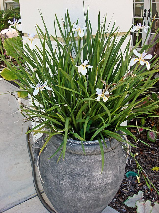 A big happy pot of African Iris | In MY garden | Pinterest