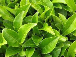 Green Tea (Camellia sinensis) Herbal Monograph | Brett Elliott