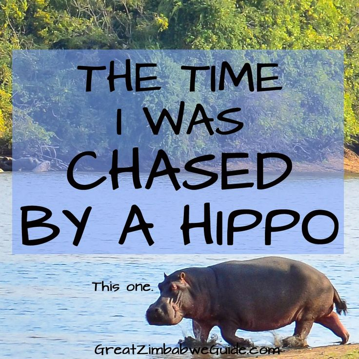 True story: The time I was chased by a hippo. Hippos are much more dangerous than they seem!