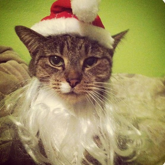 Christmas cat, cat, animal photography
