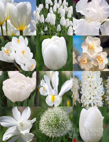 Moonlight All White Garden Collection with 258 bulbs