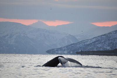 Den altovervejende grund til, at vivar rejst til Tromsø,var muligheden for at se spækhuggere. Vi har tidligereværetpåhvalsafari – bl.a.i Mexico og påMadagascar. Men nu havde vi mulighed for at komme ud og se verdens største delfinart. Vi havde på forhånd også undersøgt muligheden for at snorkle med dette prægtige dyr, men vi var nok alligevel begge glade for, at vi …