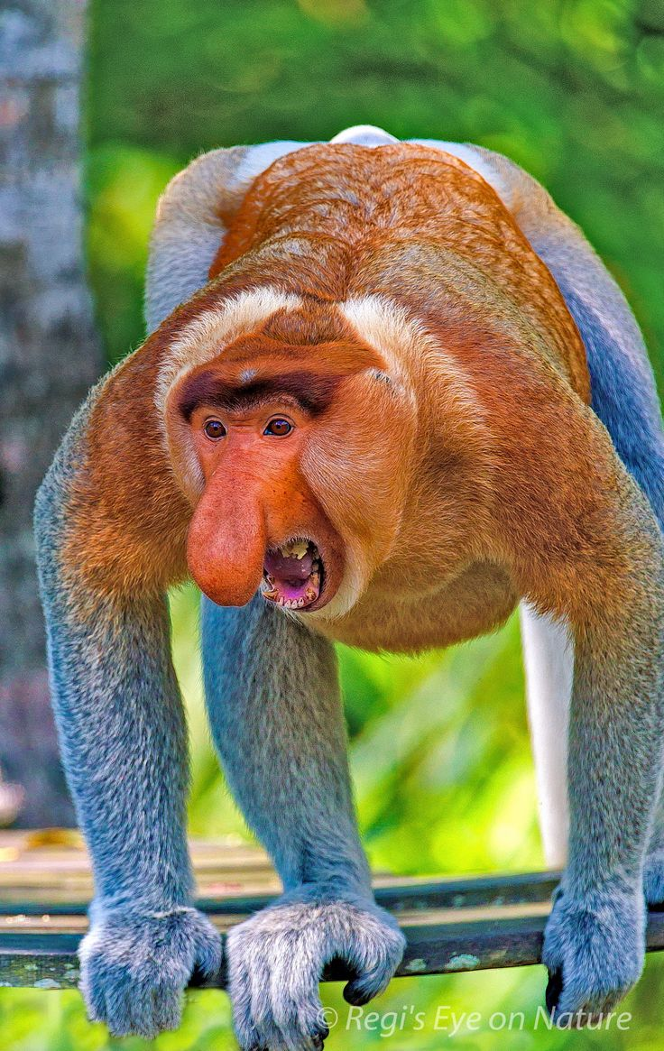 Proboscis Monkey | it's like something from a nightmare...