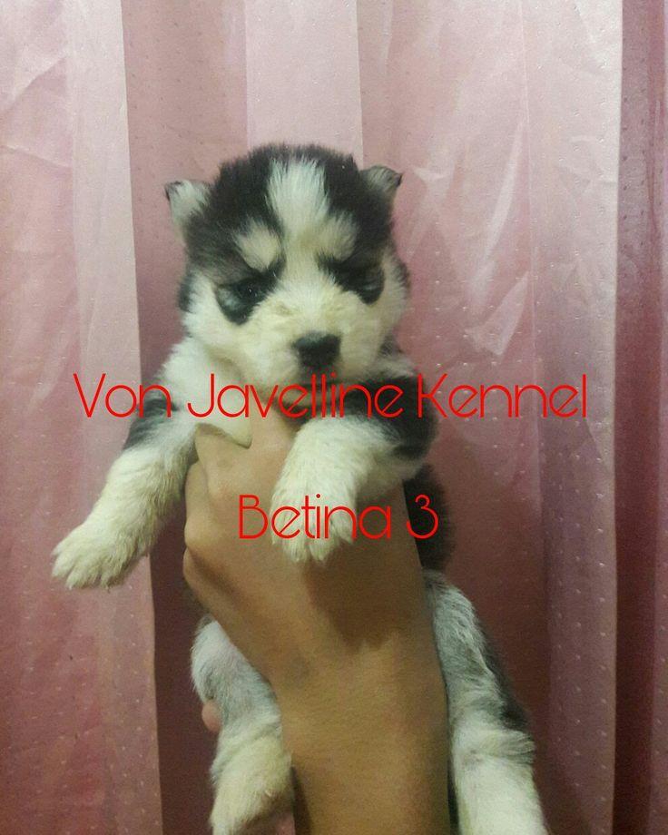 Ready for book Siberian Husky  Blue Eyes, Big Bone, Long Hair Stamboom on progress  Vaksin on progress  Obat cacing teratur  4 F, 1 M DOB 29 Jan 2017  More Info  Anni Effendi PIN BBM 51A22388 Whatsapp 081572985289 NO SMS Lokasi : Bandung  Gabung di Saluran BBM C00160FF7 https://vonjavellinekennel.wordpress.com/ http://breederanjingras.blogspot.co.id/  Facebook  https://facebook.com/VonJavellineKennel/  Siap bantu kirim luar pulau/dalam kota Ongkir ditanggung pembeli