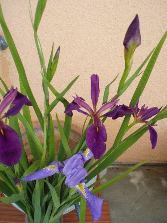 Iris Ochroleuca - pretty