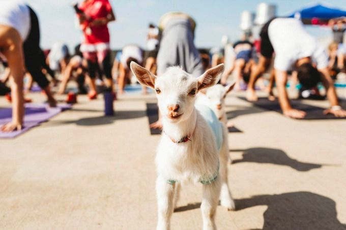 "Goat Yoga has found its way to Austin. ""Goga"" is simply yoga with goats. The goats are free to roam around the class and might even jump on your back."