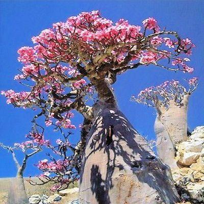 Adenium Obesum  bonsai    rare succulent